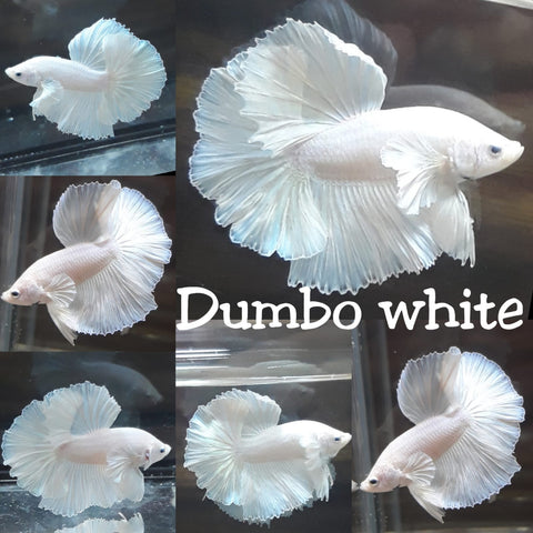 (TOOK-WDP)White Platinum Dumbo 'Pegasus' Halfmoon Male Betta