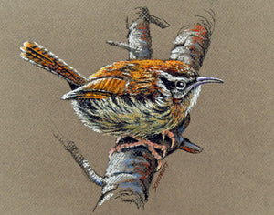 Carolina Wren: Original Pastel Painting