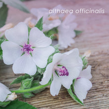 Load image into Gallery viewer, Althaea Officinalis ~ Marshmallow Root Powder