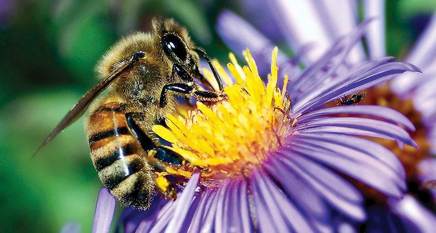 Bacteria in flowers may boost honeybees' healthy gut microbes