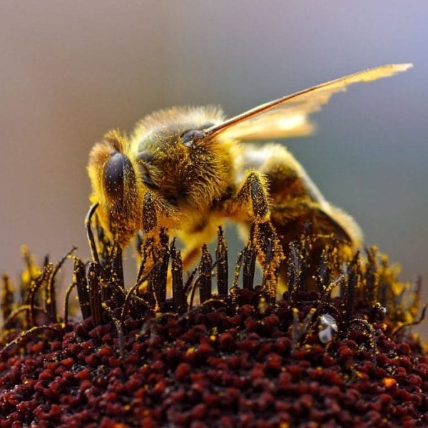 Are Neonics Killing Bees?: The largest ever field study brings conflicting views and controversy