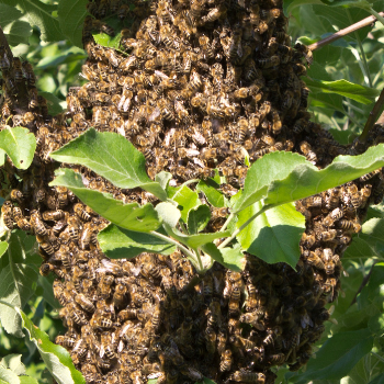 The Beekeeper's Guide to Swarm Prevention - Part 2