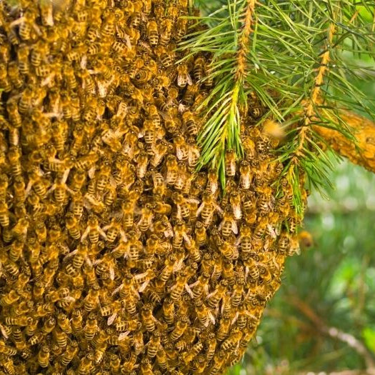 The Beekeeper's Guide to Swarm Prevention