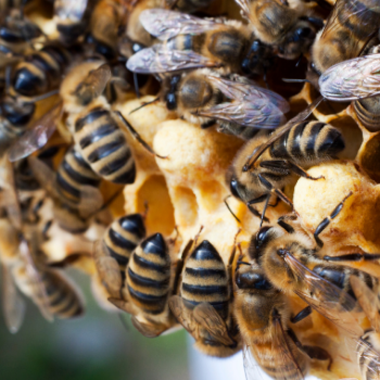 Why Carniolan Honeybees are the Beekeeper's Best Choice