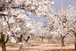 A grove of almond trees
