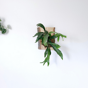 Mounted Staghorn