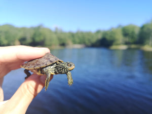 Lyndsey Frisen - Northern Map Turtle hatchling