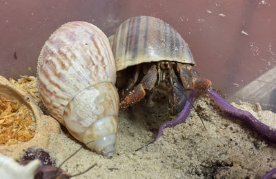 This is What a Hermit Crab Changing Shells Looks Like