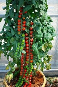 This is a unique variety of tomato plant for sale. The plants will grow tall  3 - 4 feet and as it does it will not grow very wide. The tomatoes  are sweet , tangy bright red and medium to small in size. Plant the best.