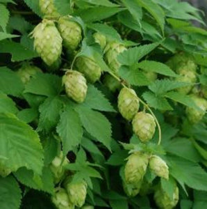 Where to buy hops roots plants crowns near me. Organic hops. Easy to grow garden many for when there is none.
