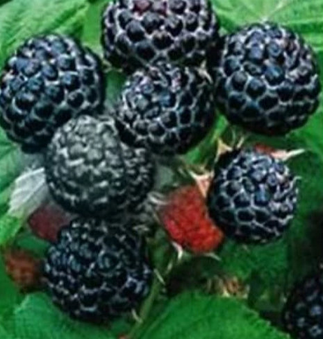 Black Raspberry Plants for sale. where to buy. Sweet tender flavor. Easy to grow in any type of garden soil.
