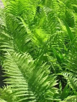 Fiddle head ferns easy to plant fast to grow. A garden delight delicious. Where to buy roots crown fern plants near me?