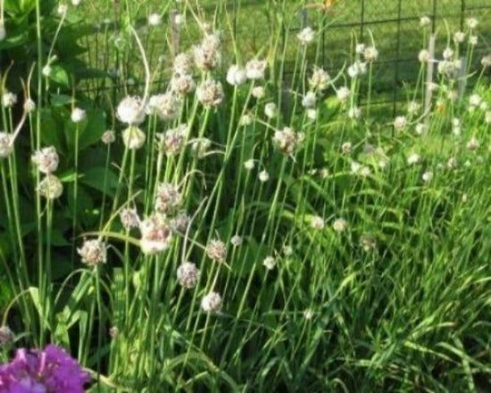 Buy Jumbo Garlic plants for sale. Jumbo Garlic has a pungent flavor that is great in any recipe. Garlic is  easy to grow. The white flowers and green stems will make a showcase garden. Plant garlic in between all your Asparagus roots. The pungent smell tinges the nose of  bugs and rabbits .  Garlic will  keep pests away.