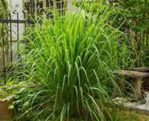 Lemongrass where to buy near me. Plant many lemon grass plants and roots. Easy to grow. Awesome flavor All organic