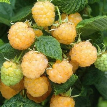 where to buy yellow raspberries by me. Buy the best raspberry plants and harvest many. Gardening Raspberry Plants  fast and easy.