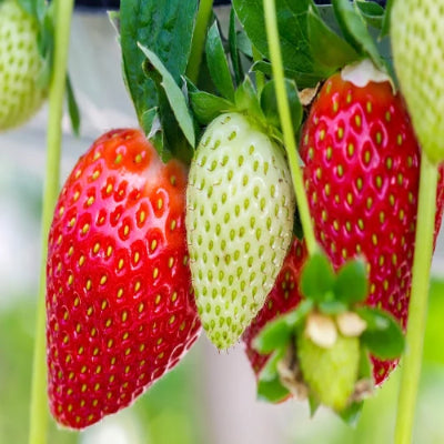 Everbearing Strawberry Plants for sale. Harvest berries all summer till frost. Best variety Big roots . Grow in containers or garden.