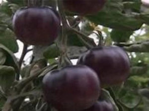 Black Tomato for your garden. Easy to grow with a unique flavor that will make you plant many. A black tomato is a cross between a re d and a purple. Buy many and enjoy.