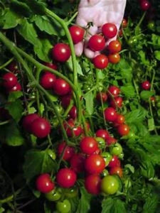 Smallest Tomatoes in the world. Where to buy Spoon. Easy to grow . Harvest all season.