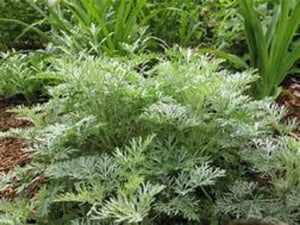 Where to buy Mug wort herb plants. Easy to garden fast to grow.