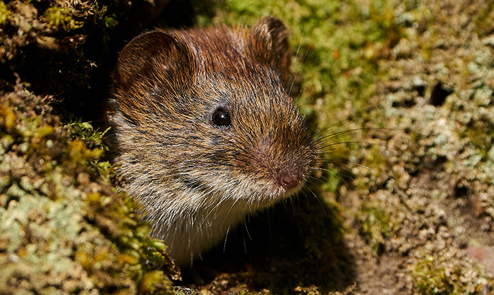 Of Course, There's a Vole Pandemic in 2021