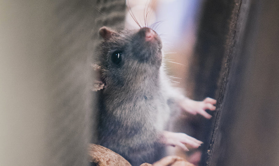 How to Get Rid of Rats in Your Walls