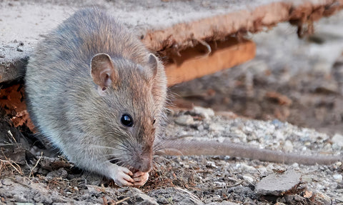 How to Kill Rats Without Harming Wildlife