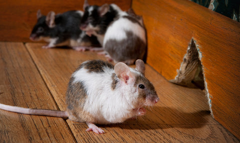 How to Identify Mouse Droppings