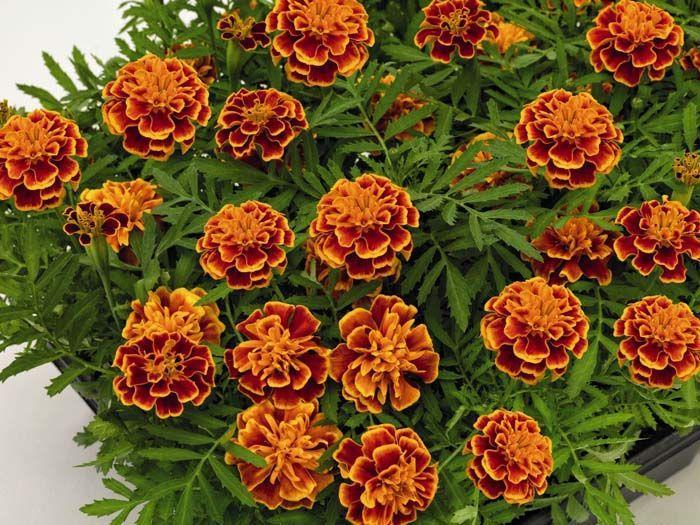 Orange Flame Marigold
