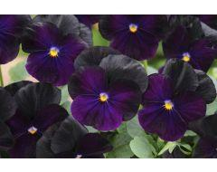 Blackberry Sorbet Viola
