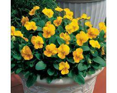 Penny Yellow Viola
