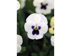 White Blotch Sorbet Viola