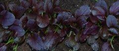 Purple Magic Bok Choy