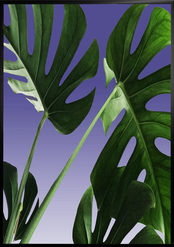 Swiss cheese plant poster