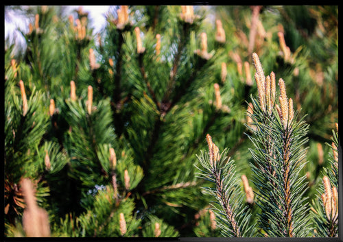 Evergreen tree poster print