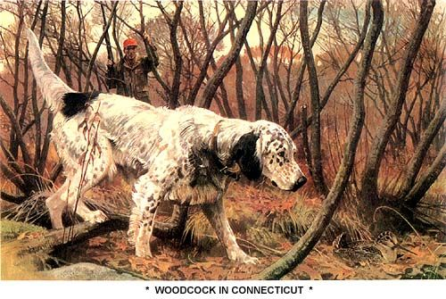Woodcock In Connecticut