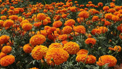 How to sow marigold seeds for beginners