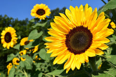 How to grow sunflower from seeds?