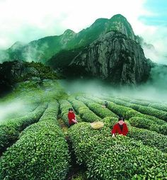 China - The Birthplace of Tea