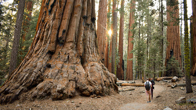 20 Amazing Facts about Giant Sequoia Trees
