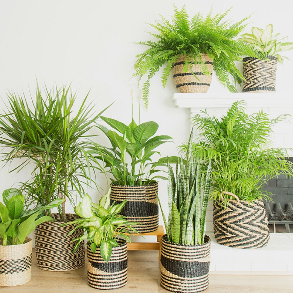 Indoor Jungle with Seagrass Baskets