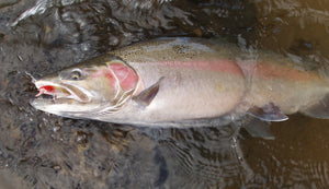 STICK It To Steelhead by Jim Bedford