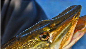 Tip Ups Tactics for Pike by Mike Gnatkowski