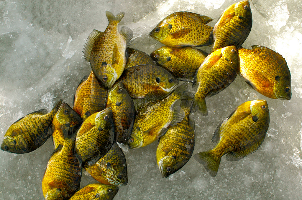 sunfish perch walleye bluegill fishing
