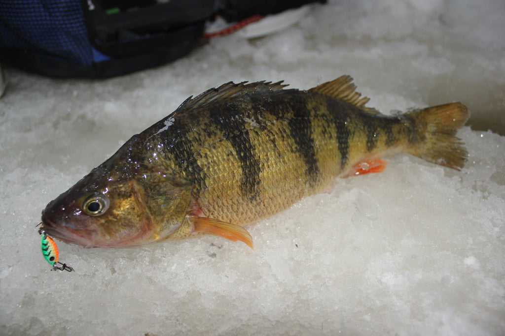 perch ice fishing