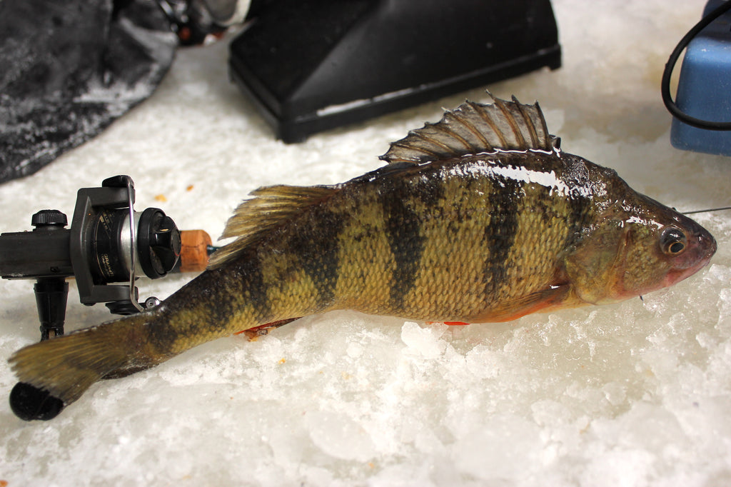 perch fishing ice lake great lakes fish
