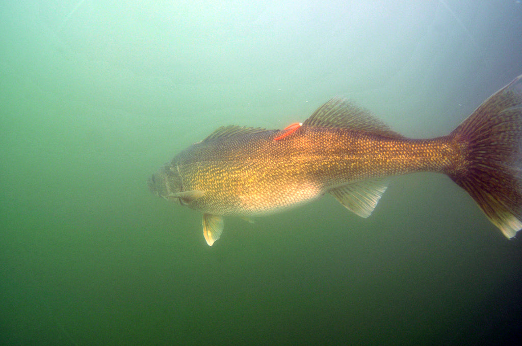 walleye tag great lakes giant