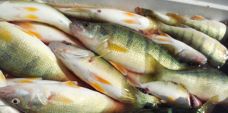 coolers of perch fishing