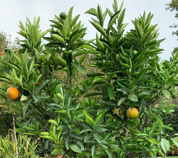 mandarijn mandarijnboom citrusboom citrusplant sinaasappelboom clementine clementina