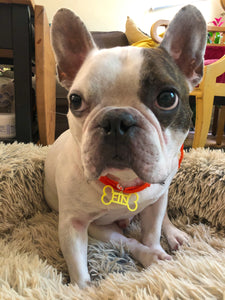 A sweet french bulldog is sitting in a fluffy dog bed and looking up. He is wearing a red collar with a bright yellow dog tag. The dog tag is shaped like a bone and reads FIN in the middle. This tag can be customized to 16 other colors and any pet's name.