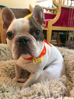 Load image into Gallery viewer, A sweet french bulldog is sitting in a fluffy dog bed and looking up. He is wearing a red collar with a bright yellow dog tag. The dog tag is shaped like a bone and reads FIN in the middle. This tag can be customized to 16 other colors and any pet's name.